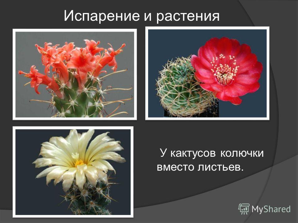 Испарение и растения У кактусов колючки вместо листьев.