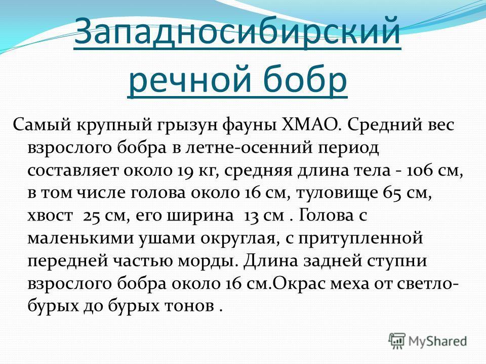 Западносибирский речной бобр Самый крупный грызун фауны ХМАО. Средний вес взрослого бобра в летне-осенний период составляет около 19 кг, средняя длина тела - 106 см, в том числе голова около 16 см, туловище 65 см, хвост 25 см, его ширина 13 см. Голов