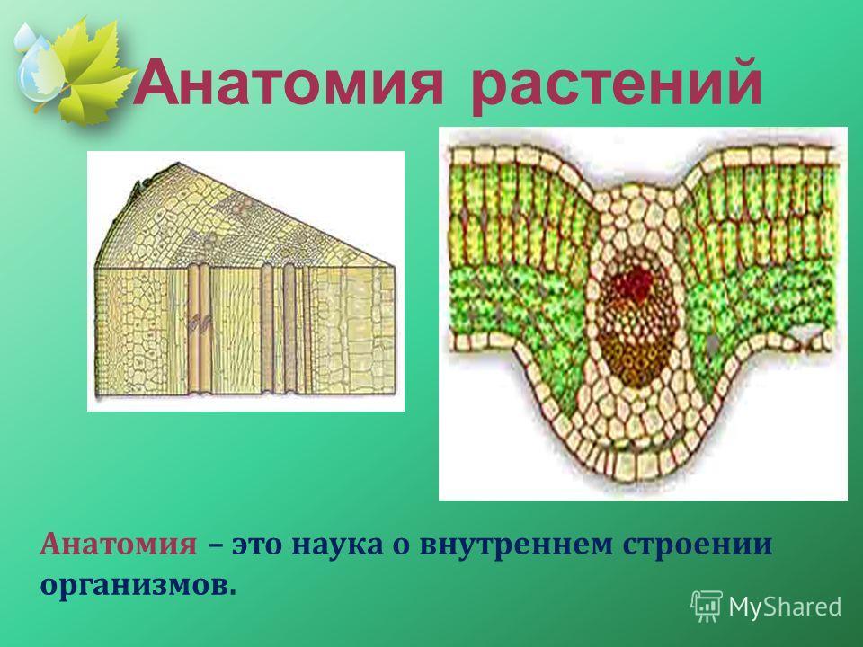 Анатомия растений Анатомия – это наука о внутреннем строении организмов.