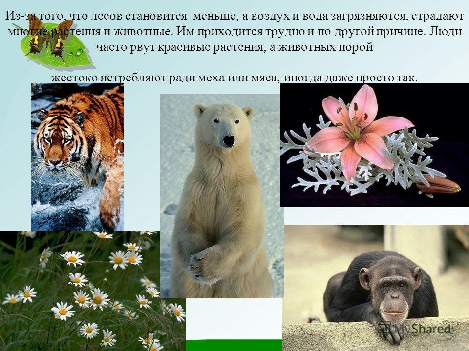 Из-за того, что лесов становится меньше, а воздух и вода загрязняются, страдают многие растения и животные. Им приходится трудно и по другой причине. Люди часто рвут красивые растения, а животных порой жестоко истребляют ради меха или мяса, иногда да