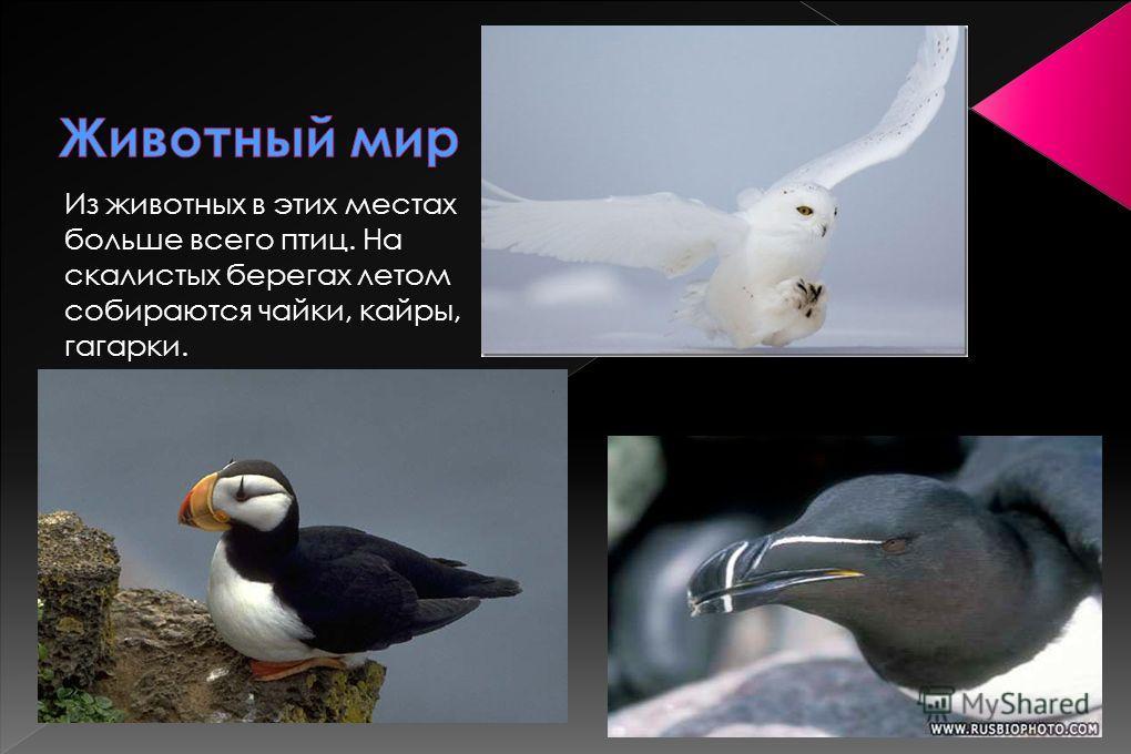 Из животных в этих местах больше всего птиц. На скалистых берегах летом собираются чайки, кайры, гагарки.