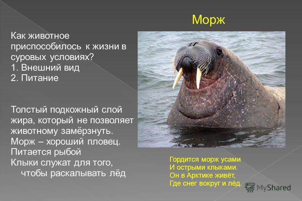 Гордится морж усами И острыми клыками. Он в Арктике живёт, Где снег вокруг и лёд. Морж Как животное приспособилось к жизни в суровых условиях? 1. Внешний вид 2. Питание Толстый подкожный слой жира, который не позволяет животному замёрзнуть. Морж – хо