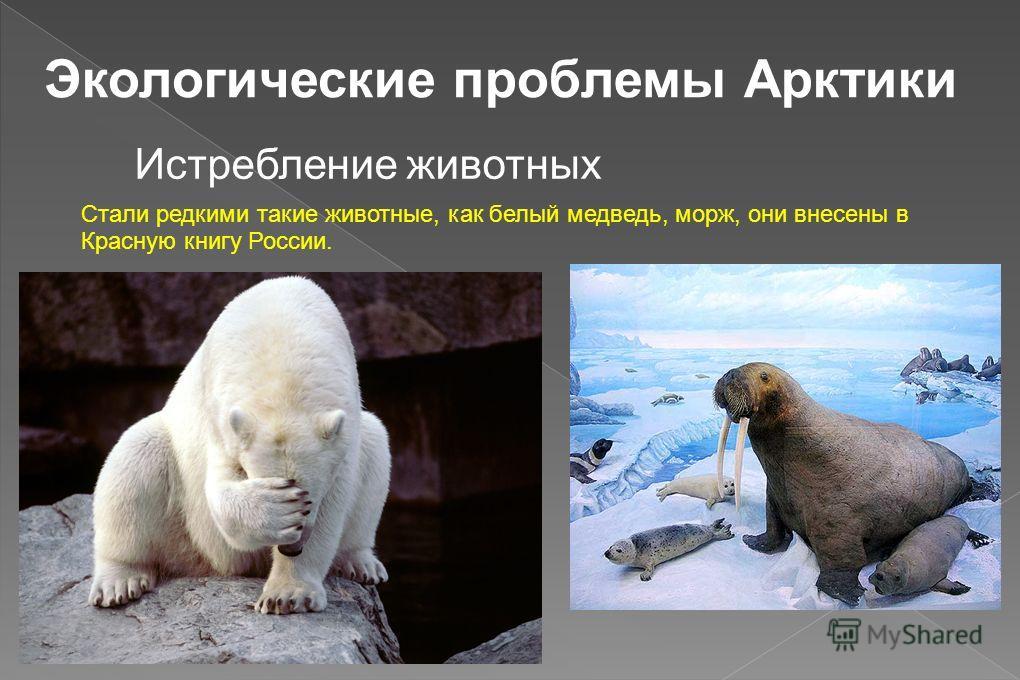 Экологические проблемы Арктики Истребление животных Стали редкими такие животные, как белый медведь, морж, они внесены в Красную книгу России.