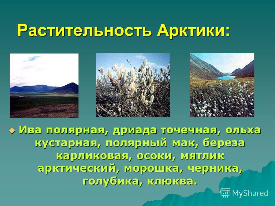Растительность Арктики: Ива полярная, дриада точечная, ольха кустарная, полярный мак, береза карликовая, осоки, мятлик арктический, морошка, черника, голубика, клюква. Ива полярная, дриада точечная, ольха кустарная, полярный мак, береза карликовая, о
