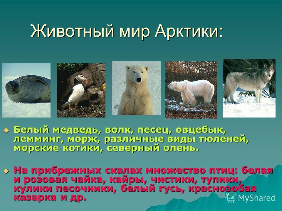 Животный мир Арктики: Белый медведь, волк, песец, овцебык, лемминг, морж, различные виды тюленей, морские котики, северный олень. Белый медведь, волк, песец, овцебык, лемминг, морж, различные виды тюленей, морские котики, северный олень. На прибрежны