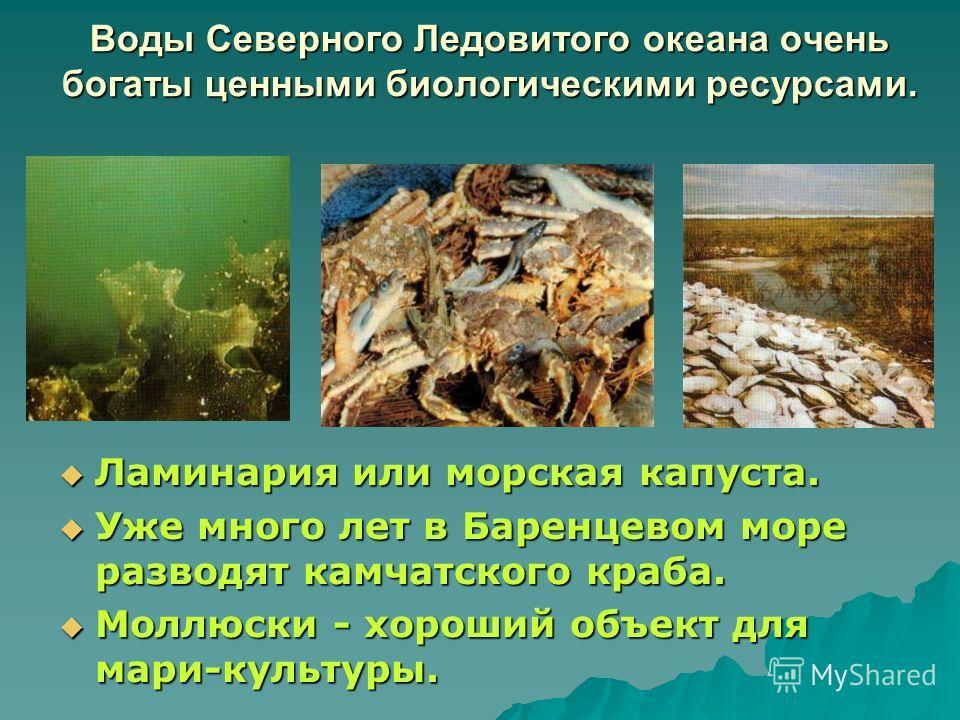 Воды Северного Ледовитого океана очень богаты ценными биологическими ресурсами. Ламинария или морская капуста. Ламинария или морская капуста. Уже много лет в Баренцевом море разводят камчатского краба. Уже много лет в Баренцевом море разводят камчатс