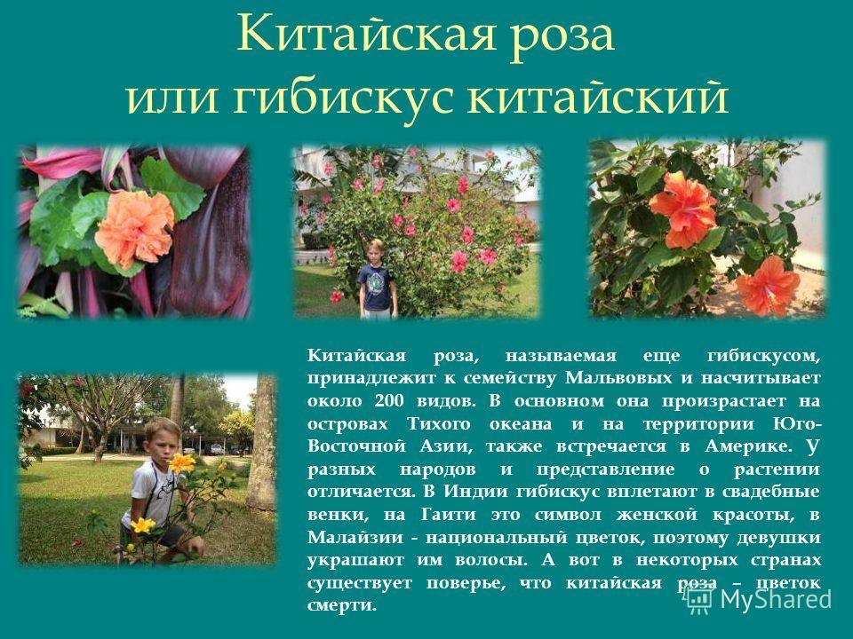 Китайская роза или гибискус китайский Китайская роза, называемая еще гибискусом, принадлежит к семейству Мальвовых и насчитывает около 200 видов. В основном она произрастает на островах Тихого океана и на территории Юго- Восточной Азии, также встреча