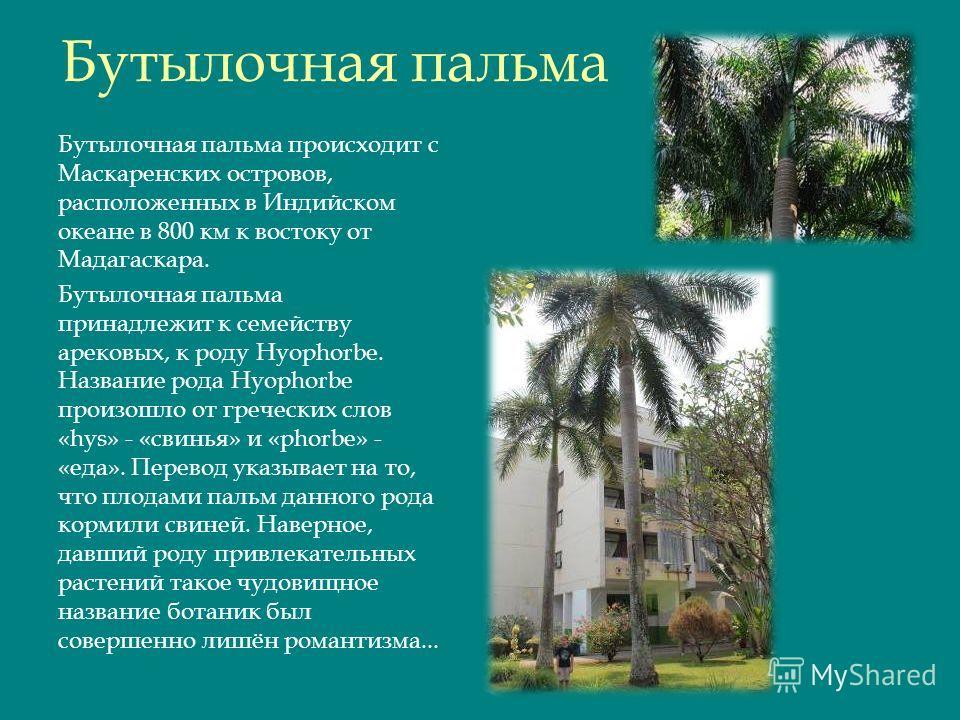 Бутылочная пальма Бутылочная пальма происходит с Маскаренских островов, расположенных в Индийском океане в 800 км к востоку от Мадагаскара. Бутылочная пальма принадлежит к семейству арековых, к роду Hyophorbe. Название рода Hyophorbe произошло от гре
