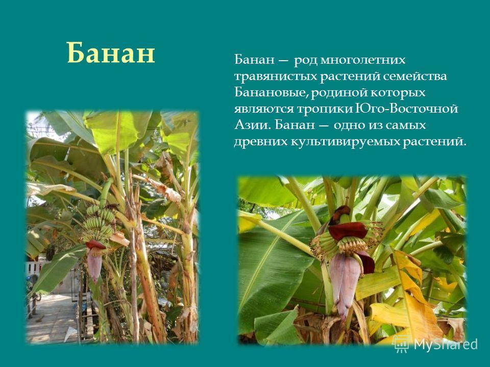 Банан Банан род многолетних травянистых растений семейства Банановые, родиной которых являются тропики Юго-Восточной Азии. Банан одно из самых древних культивируемых растений.