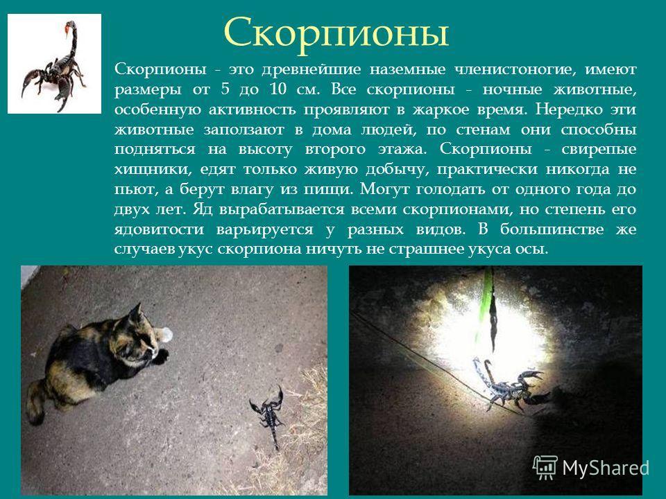 Скорпионы Скорпионы - это древнейшие наземные членистоногие, имеют размеры от 5 до 10 см. Все скорпионы - ночные животные, особенную активность проявляют в жаркое время. Нередко эти животные заползают в дома людей, по стенам они способны подняться на