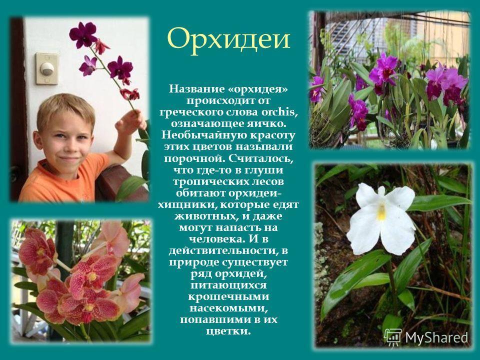 Орхидеи Название «орхидея» происходит от греческого слова orchis, означающее яичко. Необычайную красоту этих цветов называли порочной. Считалось, что где-то в глуши тропических лесов обитают орхидеи- хищники, которые едят животных, и даже могут напас