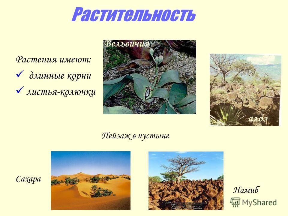 Растительность Растения имеют: длинные корни листья-колючки Вельвичия Пейзаж в пустыне Сахара Намиб алоэ