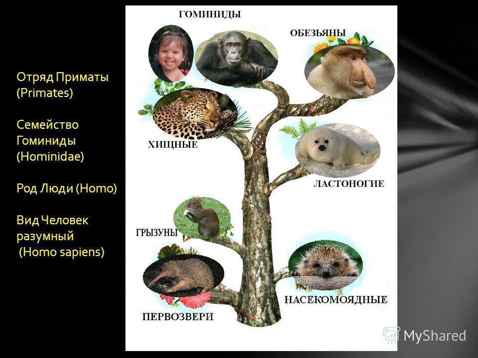 Отряд Приматы (Primates) Семейство Гоминиды (Hominidae) Род Люди (Homo) Вид Человек разумный (Homo sapiens)