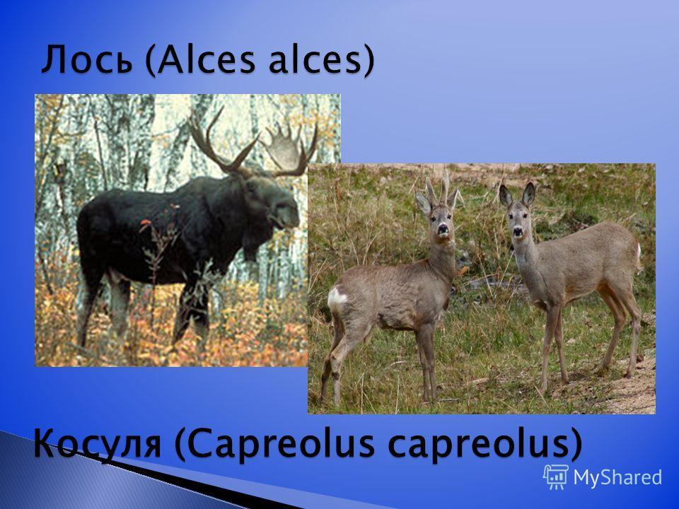 Косуля (Capreolus capreolus)