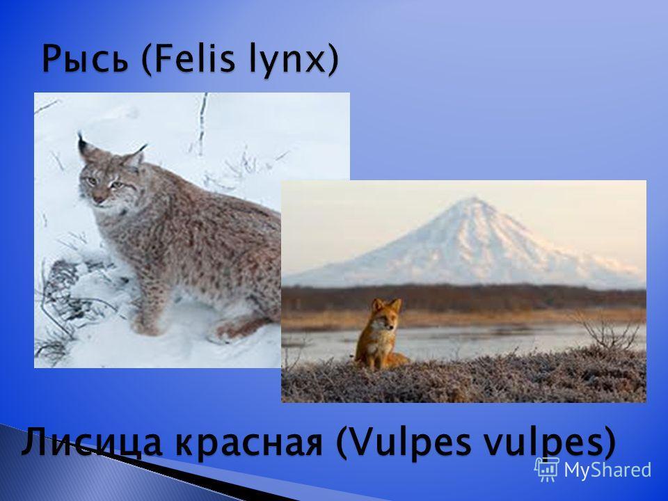 Лисица красная (Vulpes vulpes)