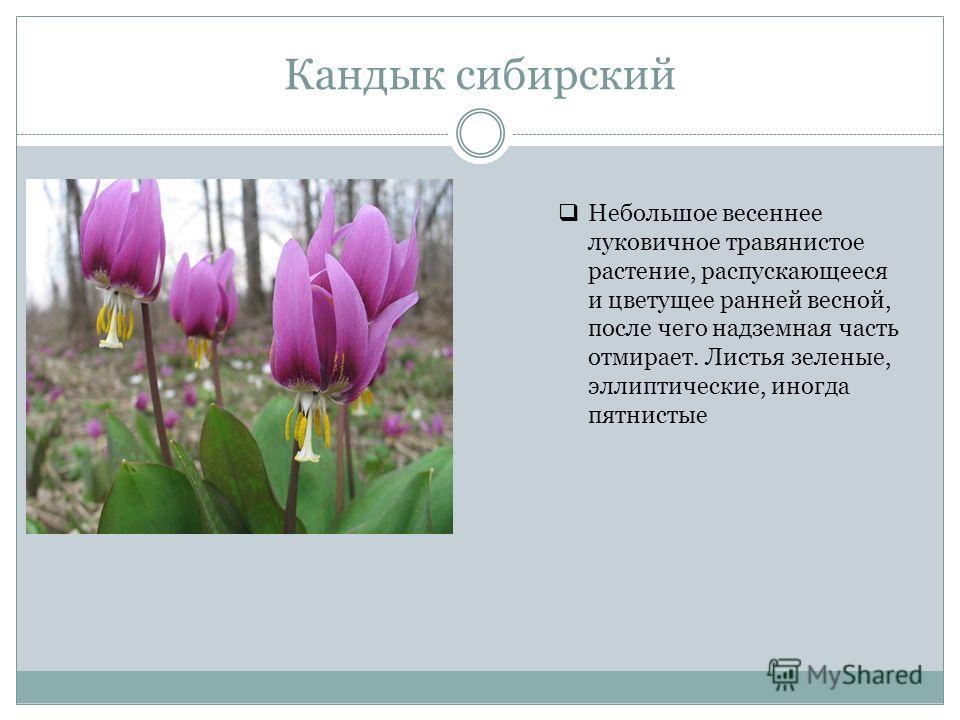 Кандык сибирский Небольшое весеннее луковичное травянистое растение, распускающееся и цветущее ранней весной, после чего надземная часть отмирает. Листья зеленые, эллиптические, иногда пятнистые