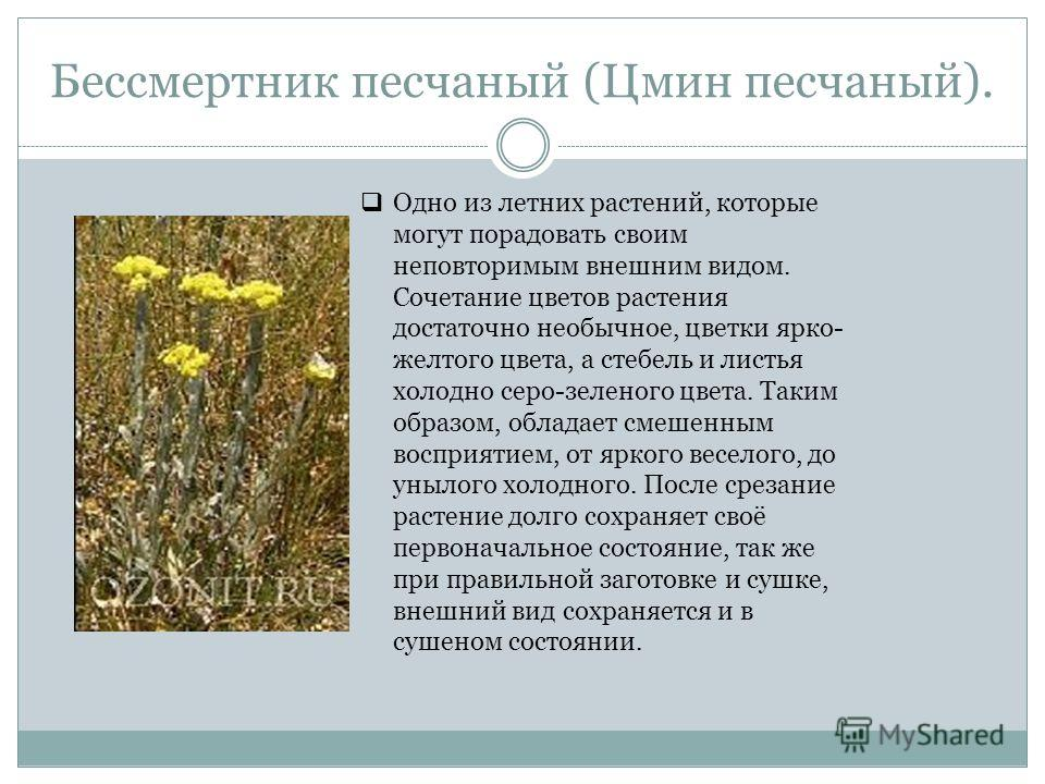 Бессмертник песчаный (Цмин песчаный). Одно из летних растений, которые могут порадовать своим неповторимым внешним видом. Сочетание цветов растения достаточно необычное, цветки ярко- желтого цвета, а стебель и листья холодно серо-зеленого цвета. Таки