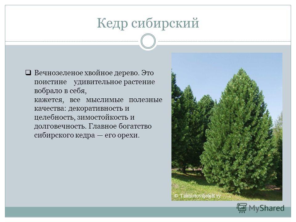 Кедр сибирский Вечнозеленое хвойное дерево. Это поистине удивительное растение вобрало в себя, кажется, все мыслимые полезные качества: декоративность и целебность, зимостойкость и долговечность. Главное богатство сибирского кедра его орехи.