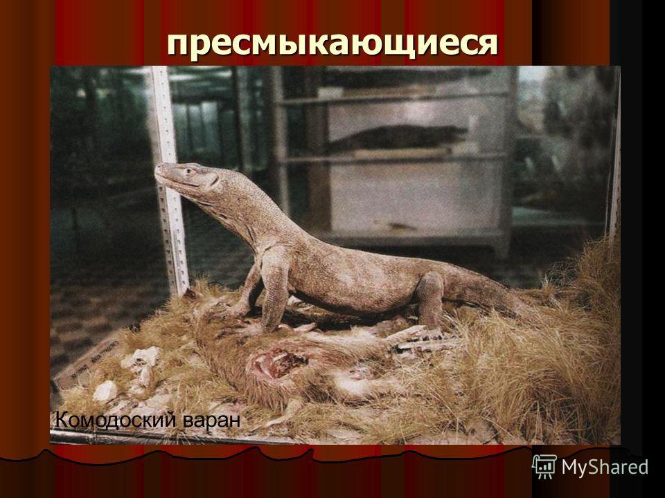 пресмыкающиеся Пресмыкающиеся – наземные животные с переменной температурой тела. У рептилий хорошо выражена шея, кожа сухая с ороговевшим эпидермисом, железы отсутствуют. В грудном отделе позвоночника имеются ребра, образующие грудную клетку. В боль
