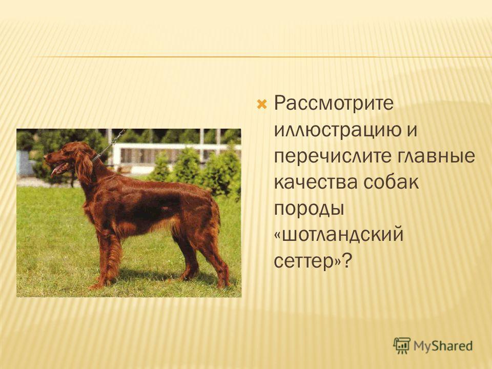 Рассмотрите иллюстрацию и перечислите главные качества собак породы «шотландский сеттер»?