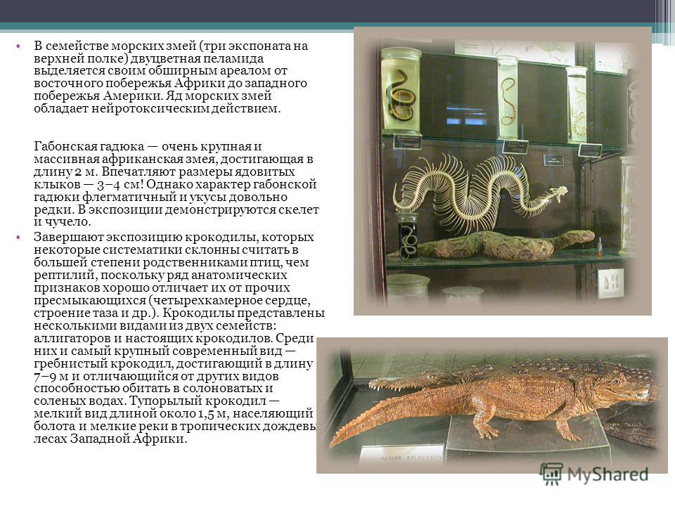 В семействе морских змей (три экспоната на верхней полке) двуцветная пеламида выделяется своим обширным ареалом от восточного побережья Африки до западного побережья Америки. Яд морских змей обладает нейротоксическим действием. Габонская гадюка очень