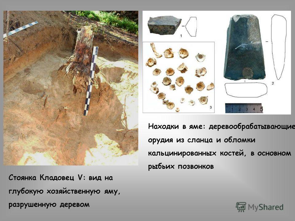 Стоянка Кладовец V: вид на глубокую хозяйственную яму, разрушенную деревом Находки в яме: деревообрабатывающие орудия из сланца и обломки кальцинированных костей, в основном рыбьих позвонков