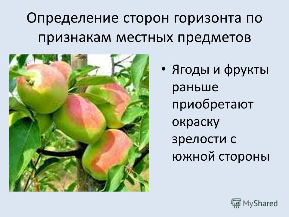 Определение сторон горизонта по признакам местных предметов Ягоды и фрукты раньше приобретают окраску зрелости с южной стороны