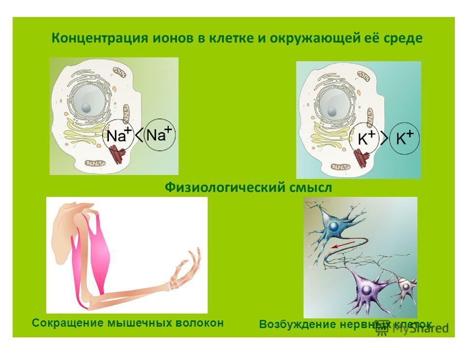 Концентрация ионов в клетке и окружающей её среде Сокращение мышечных волокон Возбуждение нервных клеток Физиологический смысл