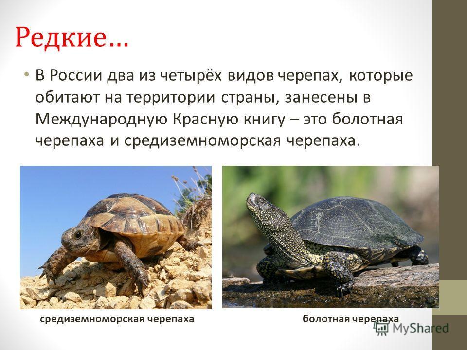 Редкие… В России два из четырёх видов черепах, которые обитают на территории страны, занесены в Международную Красную книгу – это болотная черепаха и средиземноморская черепаха. средиземноморская черепаха болотная черепаха
