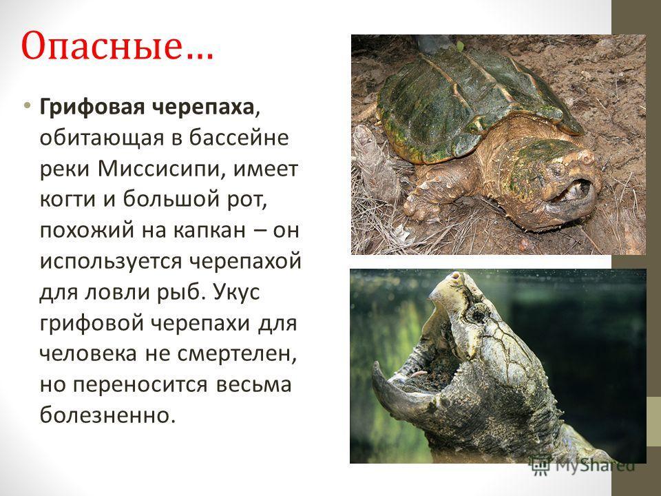 Опасные… Грифовая черепаха, обитающая в бассейне реки Миссисипи, имеет когти и большой рот, похожий на капкан – он используется черепахой для ловли рыб. Укус грифовой черепахи для человека не смертелен, но переносится весьма болезненно.