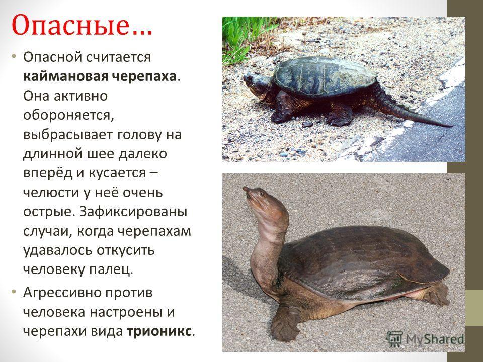 Опасные… Опасной считается каймановая черепаха. Она активно обороняется, выбрасывает голову на длинной шее далеко вперёд и кусается – челюсти у неё очень острые. Зафиксированы случаи, когда черепахам удавалось откусить человеку палец. Агрессивно прот