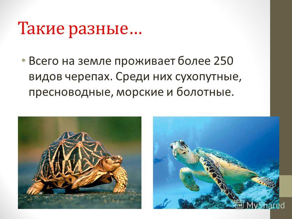 Такие разные… Всего на земле проживает более 250 видов черепах. Среди них сухопутные, пресноводные, морские и болотные.