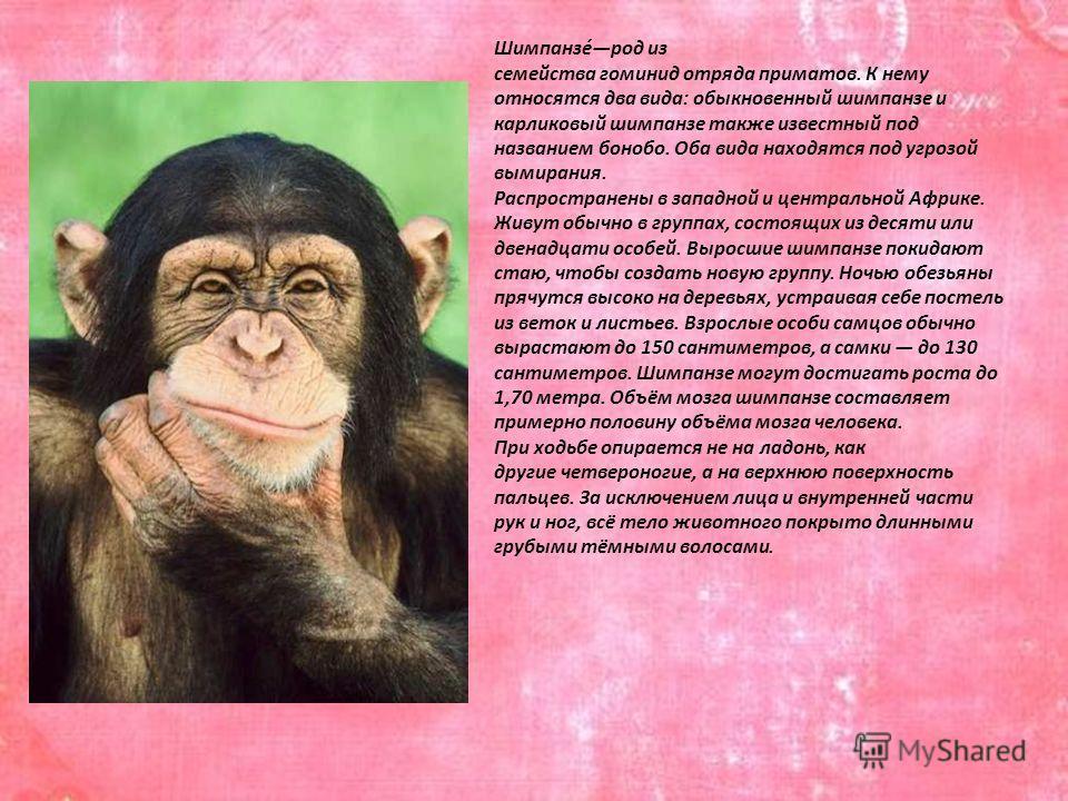 Шимпанзе́род из семейства гоминид отряда приматов. К нему относятся два вида: обыкновенный шимпанзе и карликовый шимпанзе также известный под названием бонобо. Оба вида находятся под угрозой вымирания. Распространены в западной и центральной Африке.