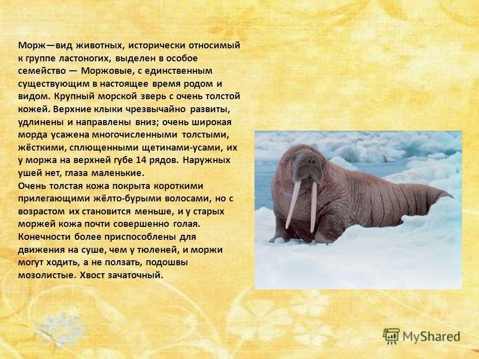 Моржвид животных, исторически относимый к группе ластоногих, выделен в особое семейство Моржовые, с единственным существующим в настоящее время родом и видом. Крупный морской зверь с очень толстой кожей. Верхние клыки чрезвычайно развиты, удлинены и