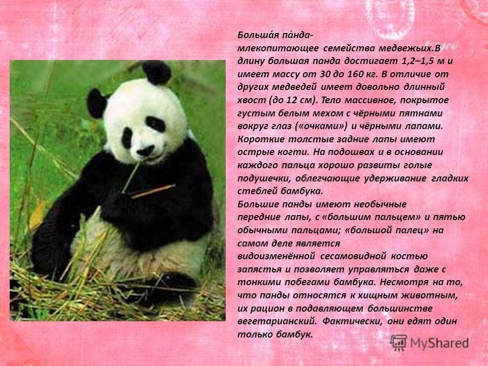 Больша́я па́нда- млекопитающее семейства медвежьих.В длину большая панда достигает 1,2–1,5 м и имеет массу от 30 до 160 кг. В отличие от других медведей имеет довольно длинный хвост (до 12 см). Тело массивное, покрытое густым белым мехом с чёрными пя