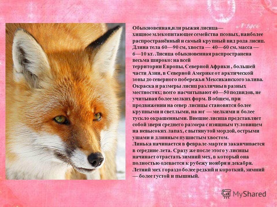 Обыкнове́нная,или рыжая лисица хищное млекопитающее семейства псовых, наиболее распространённый и самый крупный вид рода лисиц. Длина тела 6090 см, хвоста 4060 см, масса 610 кг. Лисица обыкновенная распространена весьма широко: на всей территории Евр