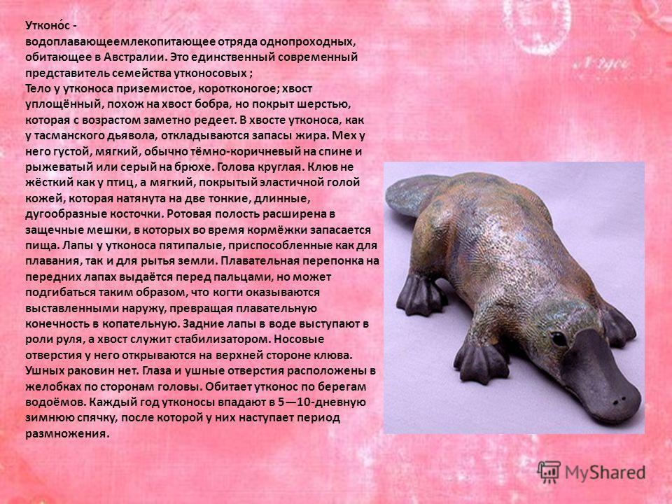 Утконо́с - водоплавающее млекопитающее отряда однопроходных, обитающее в Австралии. Это единственный современный представитель семейства утконос новых ; Тело у утконоса приземистое, коротконогое; хвост уплощённый, похож на хвост бобра, но покрыт шерс