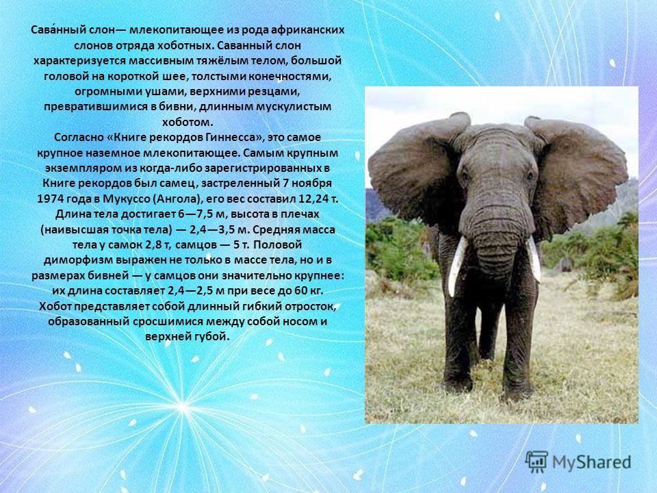 Сава́нный слон млекопитающее из рода африканских слонов отряда хоботных. Саванный слон характеризуется массивным тяжёлым телом, большой головой на короткой шее, толстыми конечностями, огромными ушами, верхними резцами, превратившимися в бивни, длинны
