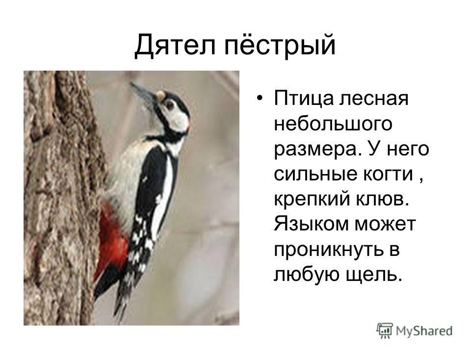Дятел пёстрый Птица лесная небольшого размера. У него сильные когти, крепкий клюв. Языком может проникнуть в любую щель.