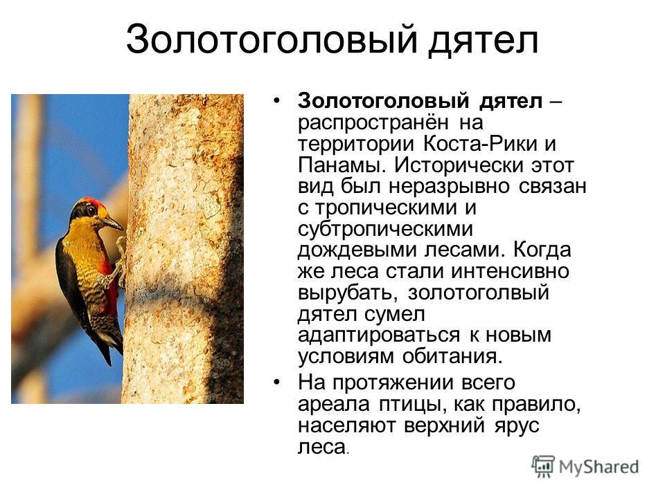 Золотоголовый длятел Золотоголовый длятел – распространён на территории Коста-Рики и Панамы. Исторически этот вид был неразрывно связан с тропическими и субтропическими дождевыми лесами. Когда же леса стали интенсивно вырубать, золотоголвый длятел су