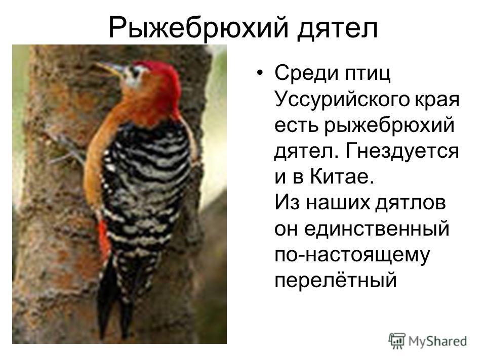 Рыжебрюхий длятел Среди птиц Уссурийского края есть рыжебрюхий длятел. Гнездуется и в Китае. Из наших длятлов он единственный по-настоящему перелётный