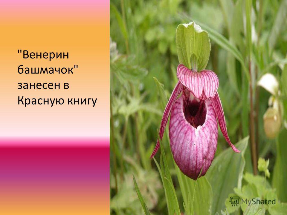 Венерин башмачок занесен в Красную книгу