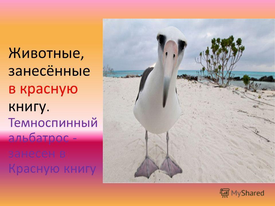 Животные, занесённые в красную книгу. Темноспинный альбатрос - занесен в Красную книгу