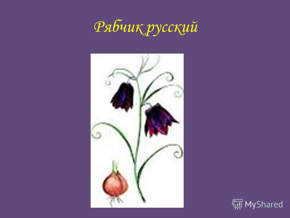 Рябчик русский