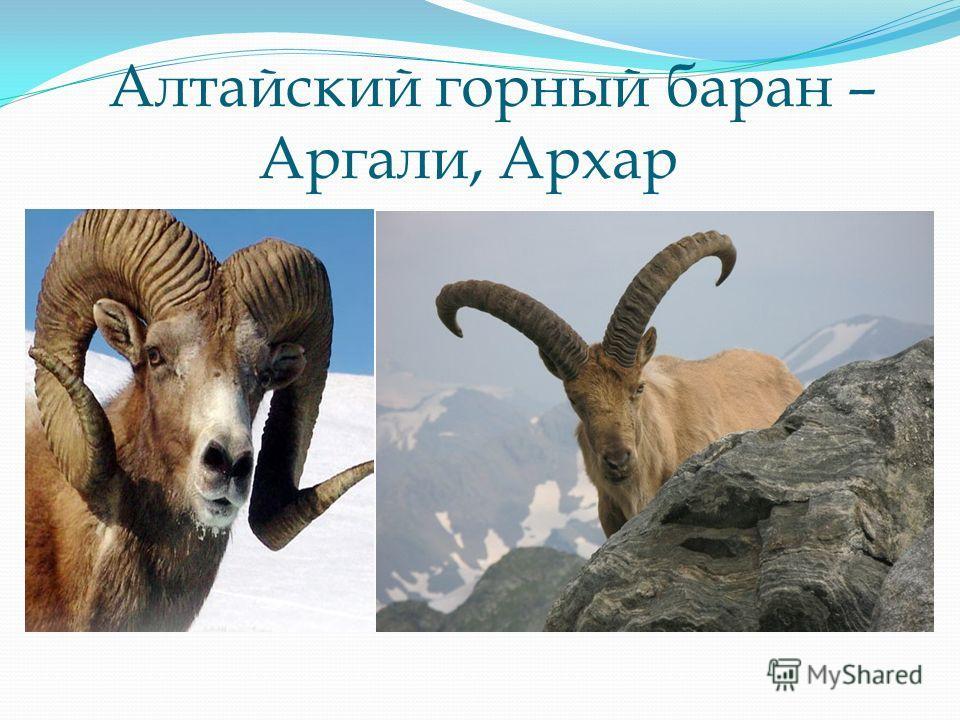 Алтайский горный баран – Аргали, Архар