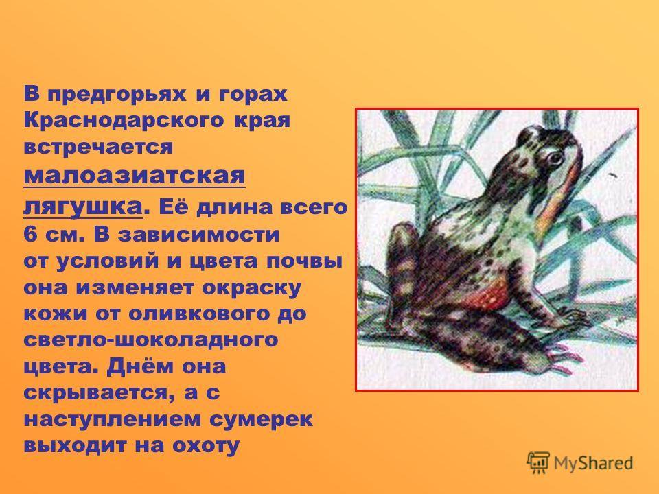 В предгорьях и горах Краснодарского края встречается малоазиатская лягушка. Её длина всего 6 см. В зависимости от условий и цвета почвы она изменяет окраску кожи от оливкового до светло-шоколадного цвета. Днём она скрывается, а с наступлением сумерек