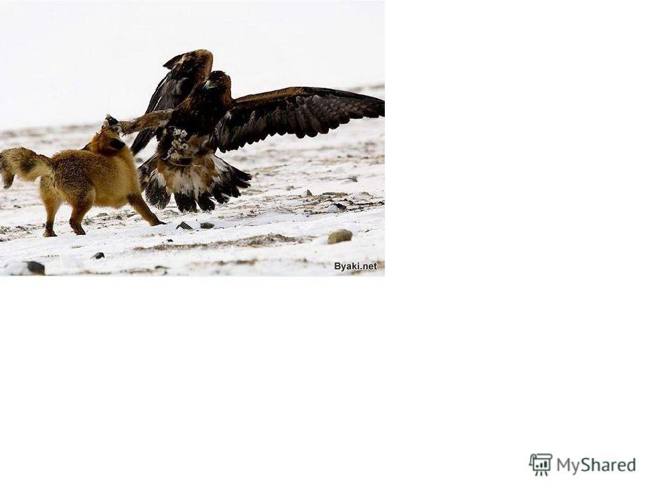 Кошачья энциклопедия Снежный барс Снежный барс (Ирбис), Uncia uncia Shreber – класс млекопитающих отряда хищных семейства кошачьих. Также называется белым барсом или снежным леопардом. Ареал ирбиса включают в себя части территорий 13 государств: Афга