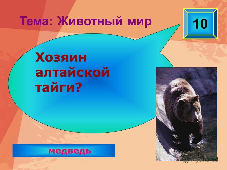 медведь 10 Хозяин алтайской тайги? Тема: Животный мир