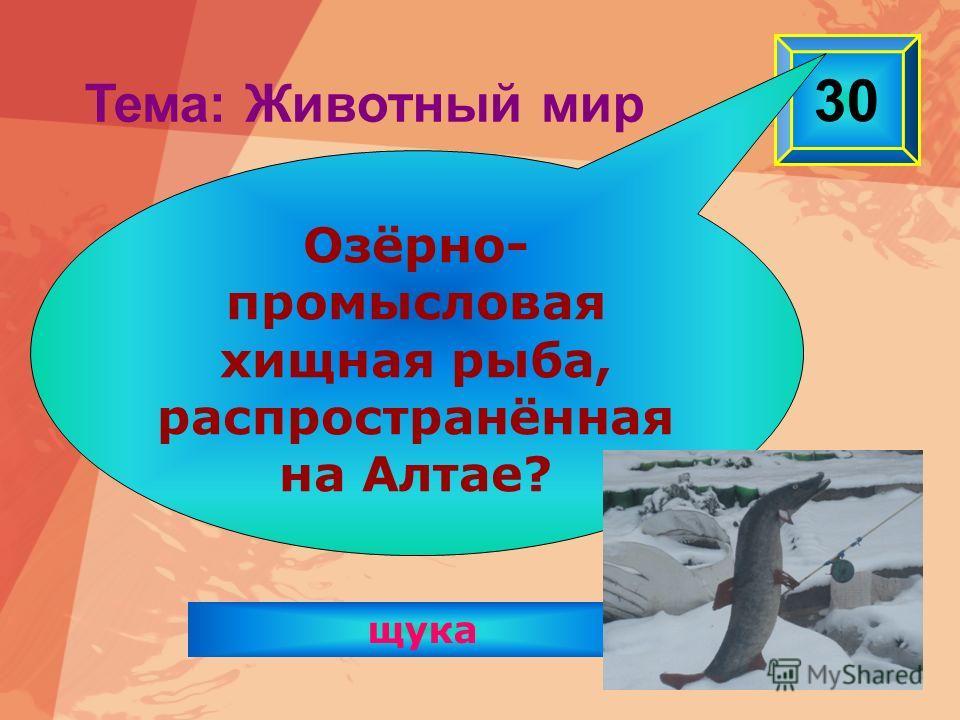 щука 30 Тема: Животный мир Озёрно- промысловая хищная рыба, распространённая на Алтае?