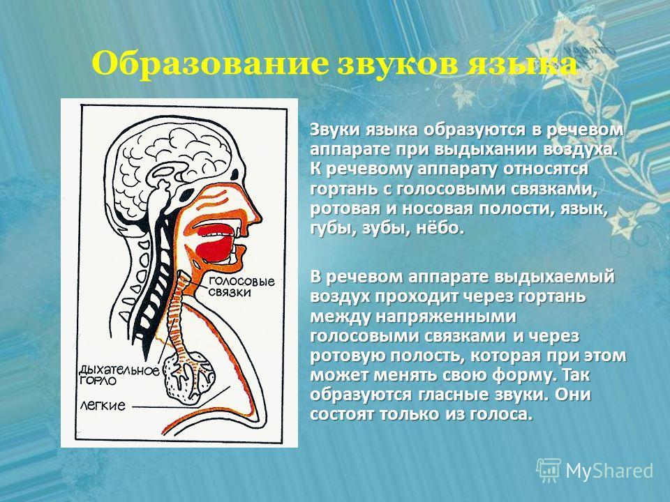 Образование звуков языка Звуки языка образуются в речевом аппарате при выдыхании воздуха. К речевому аппарату относятся гортань с голосовыми связками, ротовая и носовая полости, язык, губы, зубы, нёбо. В речевом аппарате выдыхаемый воздух проходит че